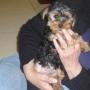 Yorkshirre Terrier