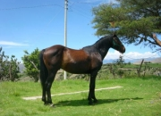 vendo caballo ingles