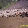 Vendo o cambio ovejas