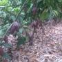 VENTAS DE PLANTAS DE CACAO CCN51 Y NACIONAL