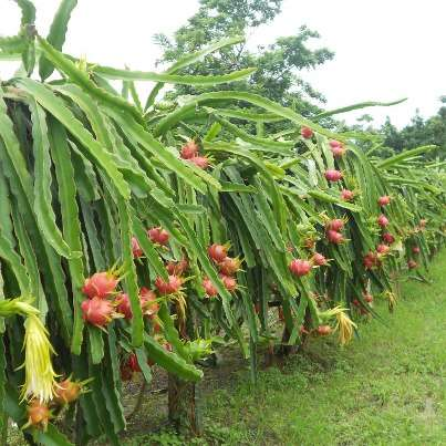 Venta de plantas pitahaya roja (dragon fruit) garantizada