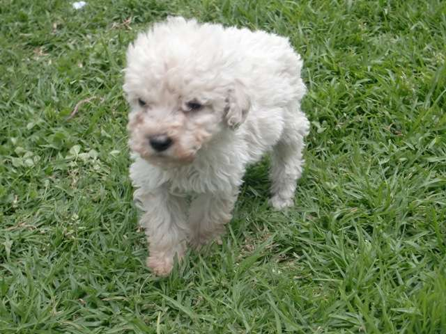 Fotos de Cachorros french poodle de 26 cm de altura de oferta a ...