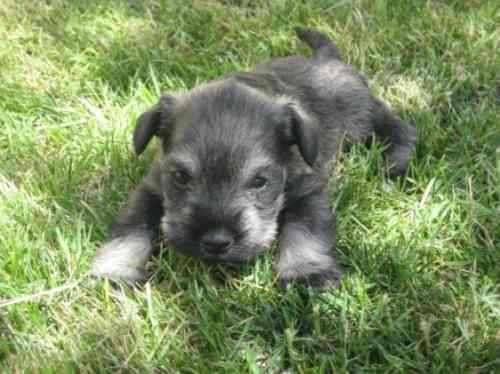 Cachorros puros aaa schnauzer miniatura padres con pedigree ...