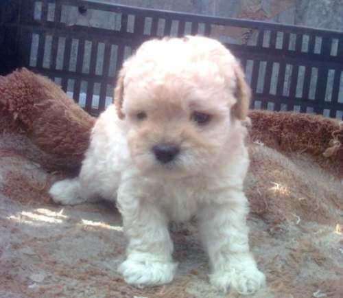 Ojo oferta cachorros french poodle mini toy garantizados blancos ...