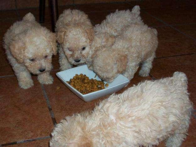 french poodle mini toy garantizados blancos sambos perros en Pichincha