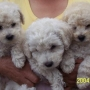 Venta de cachorritos French Puddle
