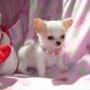 Los cachorros Chihuahua * echa un vistazo a *