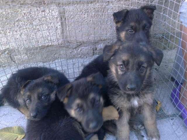 Cachorros de raza pastor aleman puros