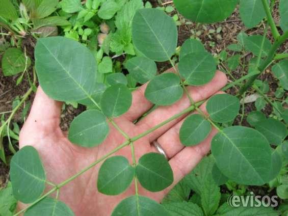 Moringa for Malnutrition